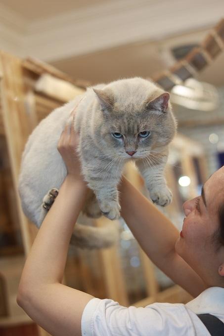 """Gương mặt """"ngầu lòi"""" của bé mèo chân ngắn Blue Golden đực giống của trại mèo Dogily Cattery."""