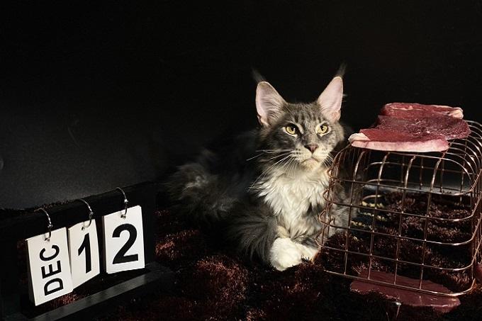 Vua sư tử - Mèo Maine Coon nhập khẩu châu Âu nhà Dogily