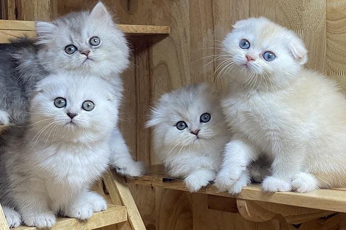 Đàn 4 mèo Silver tai cụp, tai thẳng tại Dogily Petshop 391 Cộng Hòa