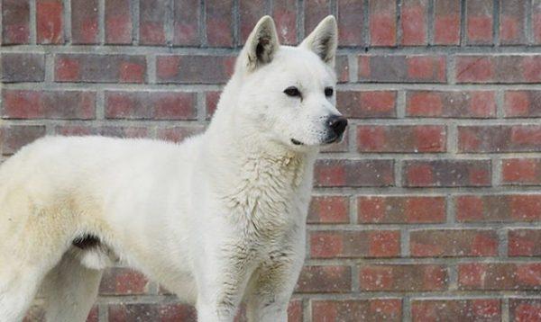 Chó Jindo