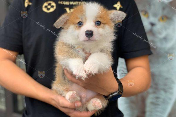 Chó Corgi Fluffu lông dài màu vàng trắng 2 tháng tuổi