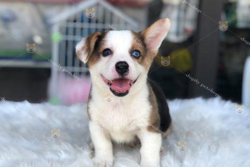 Chó Corgi Pembroke tricolor hai màu mắt