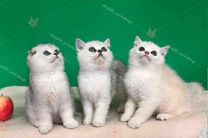 đàn 3 mèo silver tai cụp, thẳng