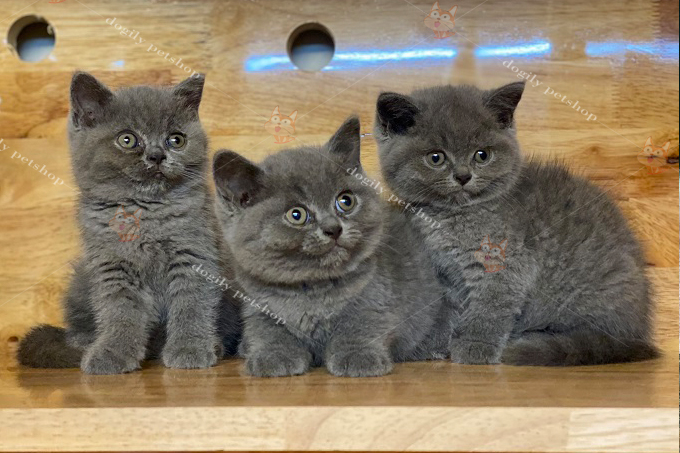 đàn 3 mèo xám xanh thuần chủng