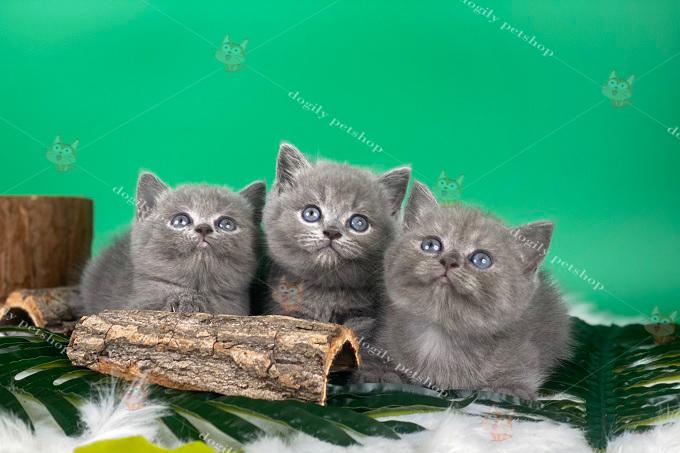 Đàn 3 bé mèo Anh lông ngắn con 2 tháng tuổi tại trại mèo Dogily Cattery