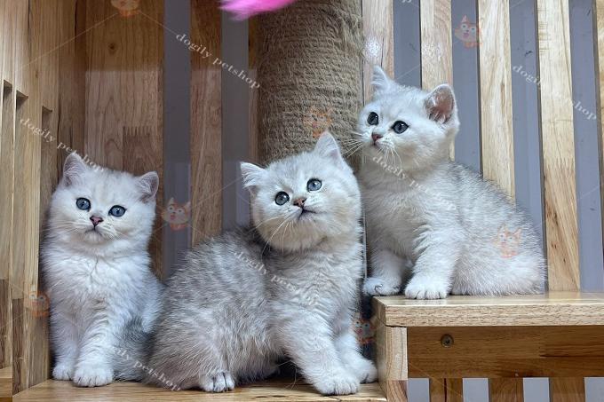 mèo anh lông ngắn và mèo scottish fold