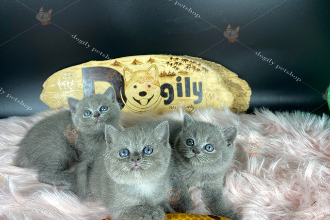 đàn 3 mèo xám xanh mặt bánh bao