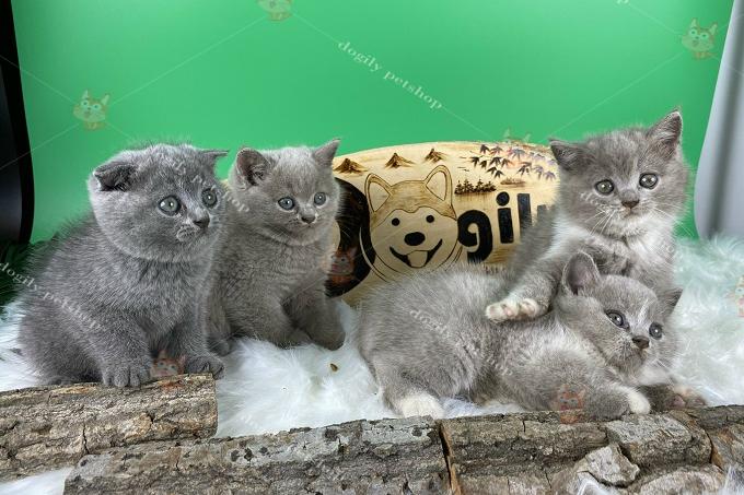 Đàn 4 mèo màu xám xanh 2 tháng tuổi