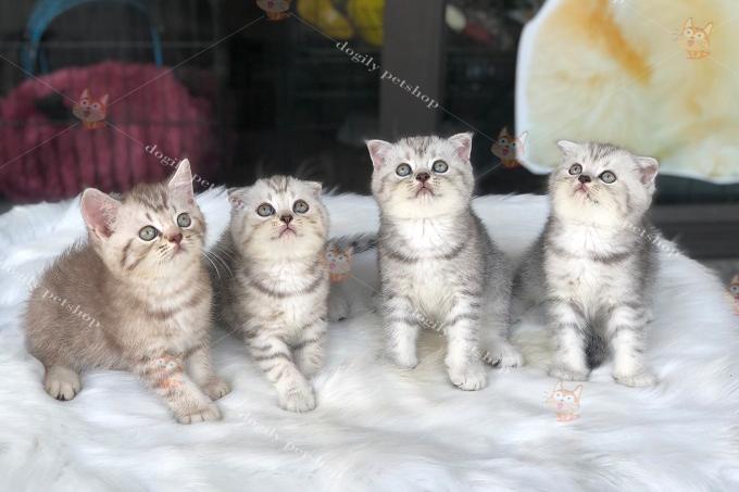 đàn 4 mèo silvedr tabby