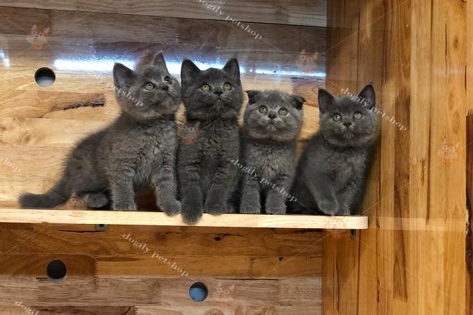 Đàn 4 mèo màu xám xanh
