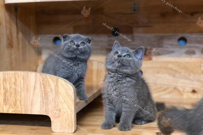 đôi mèo màu xám tro