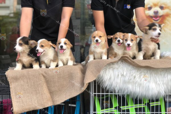 Chó Corgi bao nhiêu tiền