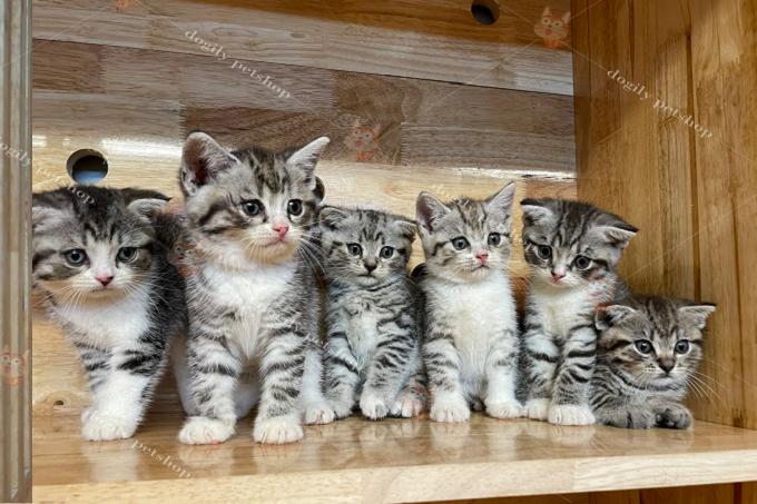 Đàn 5 bé mèo Anh lông ngắn màu tabby & tabby bicolor tai thẳng, cụp.