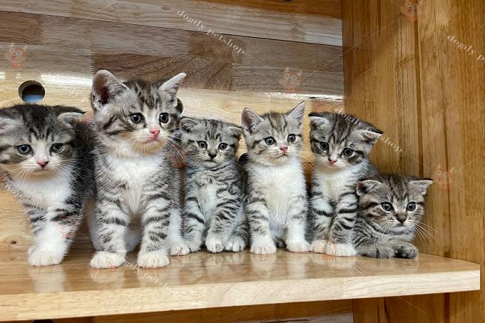 Đàn 5 mèo con màu tabby