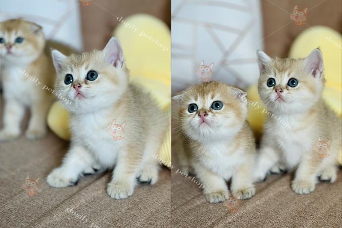 Đàn mèo Anh lông ngắn màu Golden