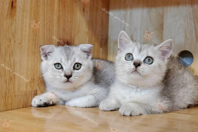Đôi mèo Silver tai cụp & thẳng