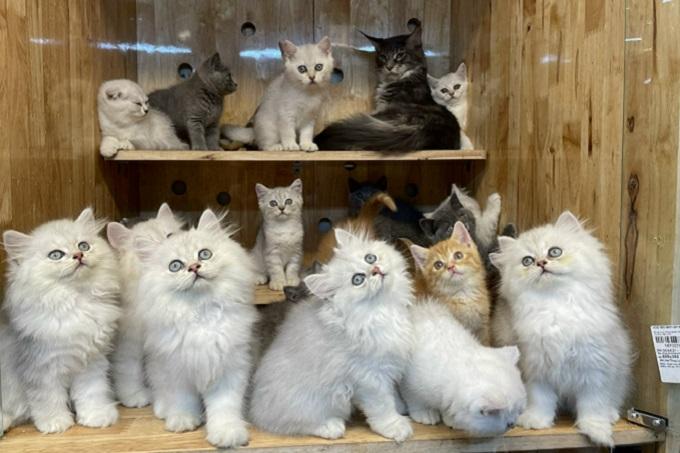 Đủ chủng loại màu sắc mèo đều có tại hệ thống Dogily