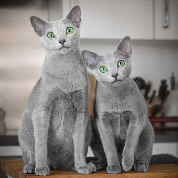 Giống mèo Nga mắt xanh với vẻ đẹp đầy mê hoặc
