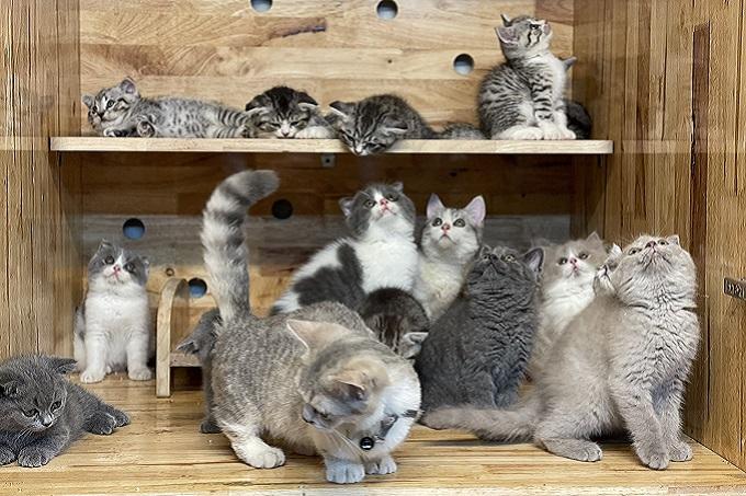 Luôn có sẵn hàng trăm bé mèo con đủ chủng loại màu sắc tại hệ thống cửa hàng, trang trại của Công ty Cổ phần Dogily Việt Nam