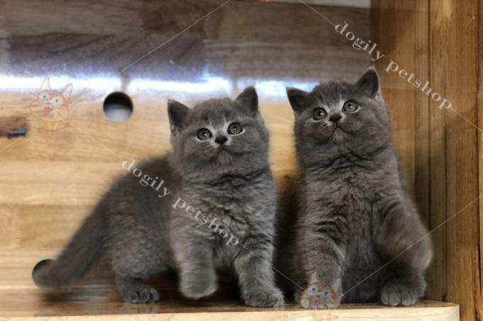 Đôi mèo Anh màu xám đen