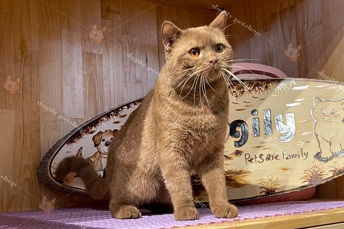 Mèo Anh lông ngắn màu Cinnamon (cin) trưởng thành