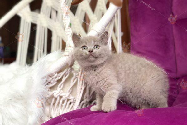 mèo lilac 2 tháng tuổi
