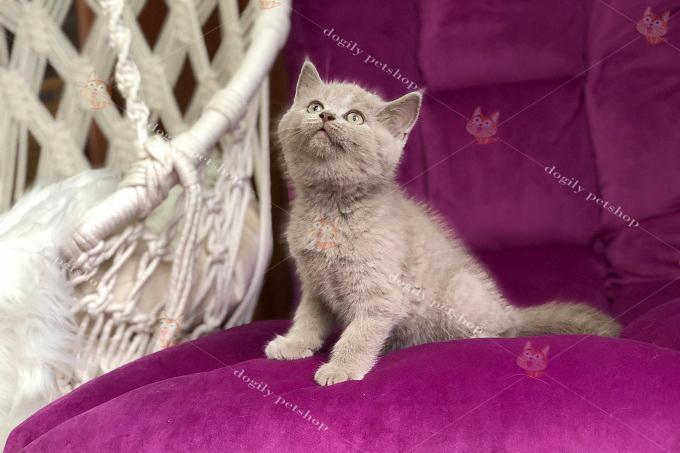 Bé mèo con màu xám xanh tinh nghịch