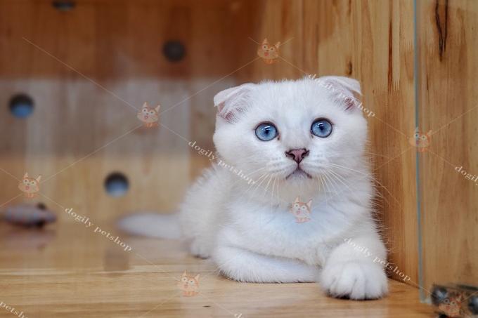 Mèo tai cụp silver point 3 tháng tuổi