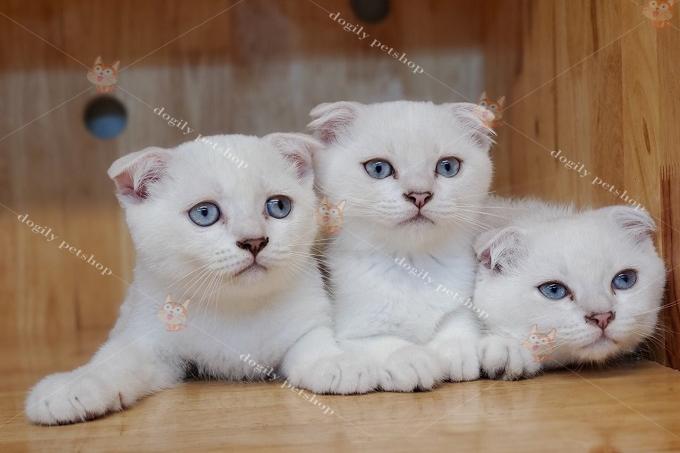 đàn 3 mèo silver point tai cụp