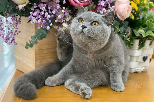 mèo xám xanh nhập khẩu liên bang Nga