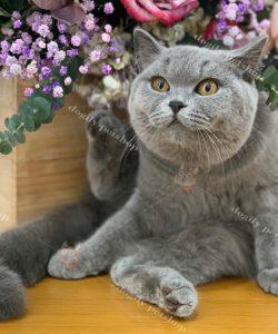 Mèo Anh lông ngắn màu xám xanh 12 tháng tuổi