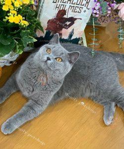 Mèo Anh Lông ngắn màu xám xanh nhập khẩu châu Âu
