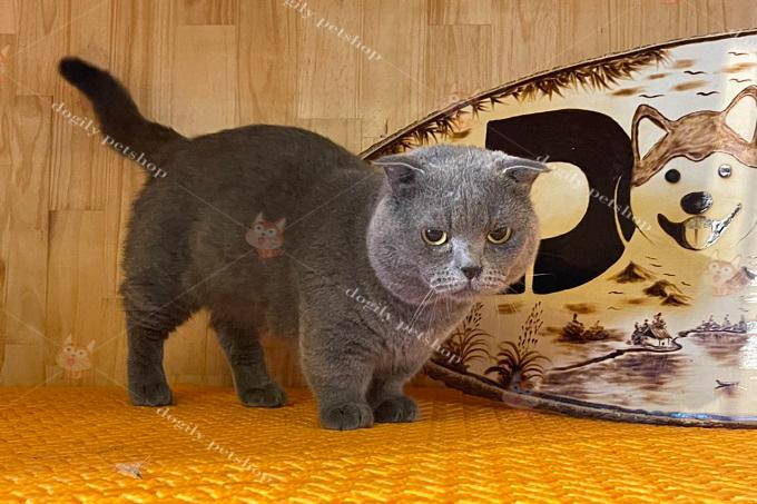 Ớt - Chú mèo tai cụp chân ngắn màu xám xanh đực giống tại trại mèo Dogily Cattery