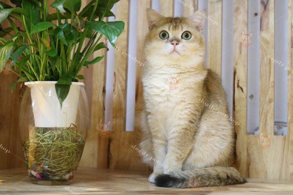 Mèo Anh lông ngắn màu Golden nhập khẩu châu Âu