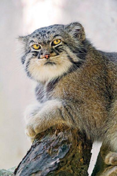 Mèo Pallas Manus với vẻ ngoài cực ngầu