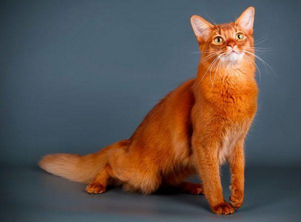 Mèo Somali